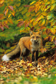 Red fox in wall
