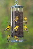 American goldfinch - flock on thistle feeder