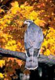 Northern goshwak in autumn
