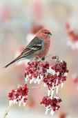 Pine grosbeak on highbush cranberry