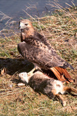 Red-tailed hawk and rabbit