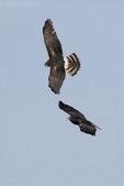 Hawks in air - rough-legged, harrier