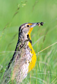 Western meadowlark with insects