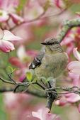 mockingbird in dogwood
