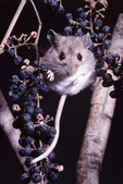 white-footed mouse in wild grape