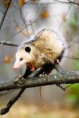 Opossum yawns