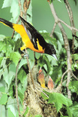 Baltimore oriole at nest