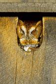 Screech owl in box