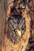 Screech owl in hole
