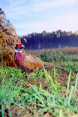 Ring-necked pheasant rooster