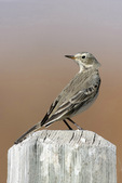 Sprague's pipit on post