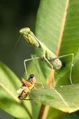 Praying mantis by grasshopper