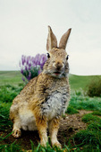 desert Cottontail in spring