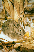 Cottontail rabbit in cornfield