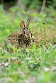 cottontail rabbit with nest material