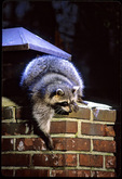 Raccoon on chimney