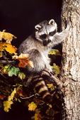 raccoon in fall