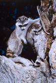 raccoon mother and cub