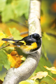 American redstart in autumn