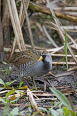 Sora rail in marsh