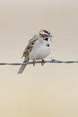 Lark sparrow on fence