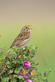 Savannah sparrow sings
