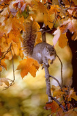 gray squirrel in autumn