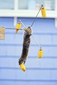 gray squirrel at squirrel feeder