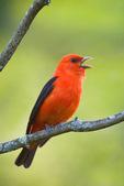 Scarlet tanager in spring
