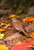 Hermit thrush in autumn