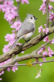 Tufted titmouse in redbud