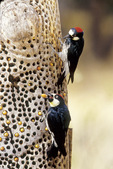 Acorn woodpecker pair
