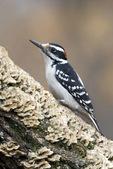 Hairy woodpecker - male on fungus log