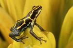 Amazon poison frog