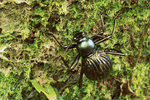Spider-mimic beetle (Coleoptera: Tenebrionidae)