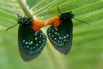 Atala butterflies mating