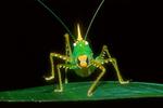 Conehead katydid, Family: Tettigoniidae