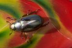 Silver scarab beetle