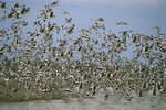 Flock of willets.