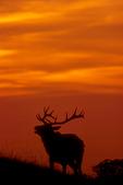 Tule elk bugling during sunset.