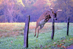 White-tailed deer leaping over a fence.
