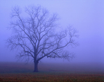 Tree in fog.