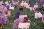 Migrant farm workers picking green beans in a field just outside Everglades National Park.