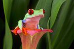 Red-eyed treefrog on cala lily.
