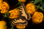 Old World Swallowtail butterfly on tulips.