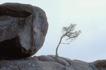 Rock and pine tree.