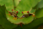 Red-eyed treefrogs