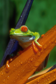 Red-eyed treefrog