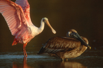 Roseate spoonbill and brown pelican.