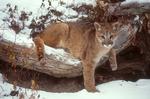 Mountain lion kitten in snow.